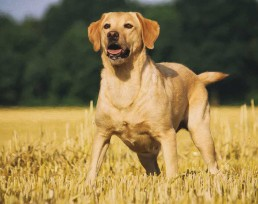 Yellow Labrador Dogs Calendar 2021, 2021 Yellow Lab Dog Calendar, Best Dog Calendars